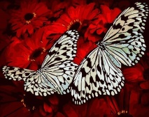 "КАРТИНА ПО НОМЕРАМ. ""Белые бабочки"" /40х50/"